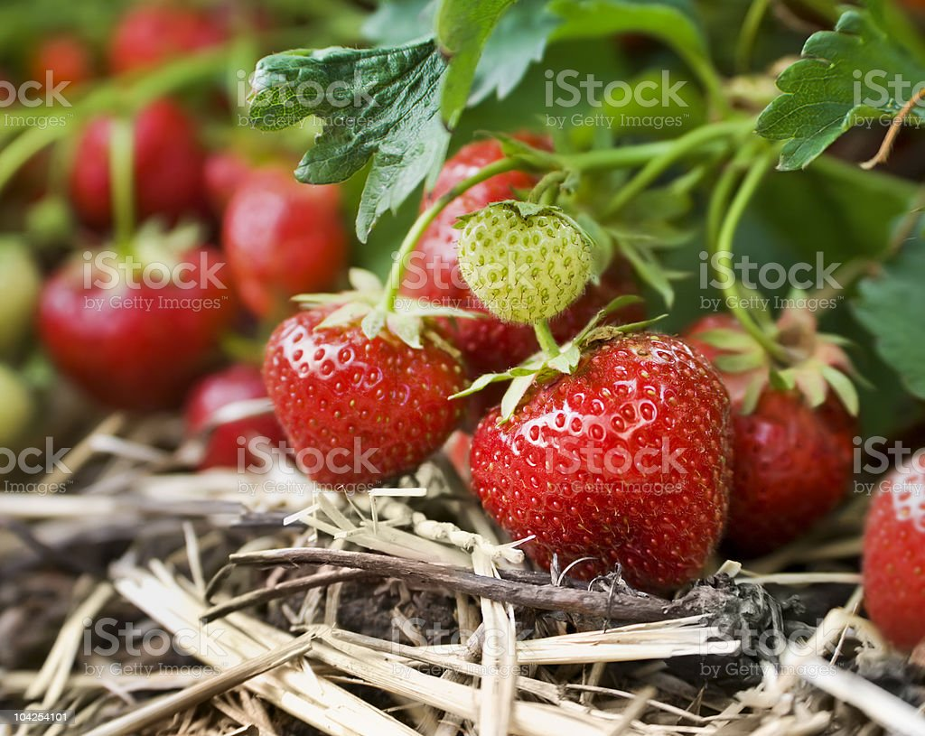 Close-up of fresh strawberries on the vine stock photo