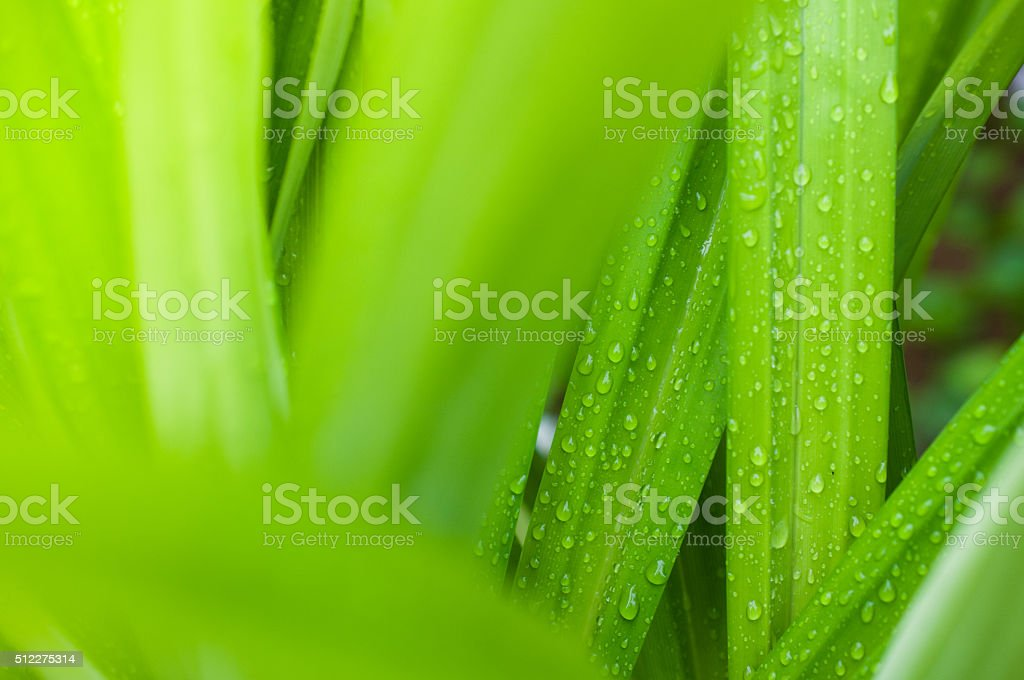 closeup of fresh water drop on pandan leaves stock photo