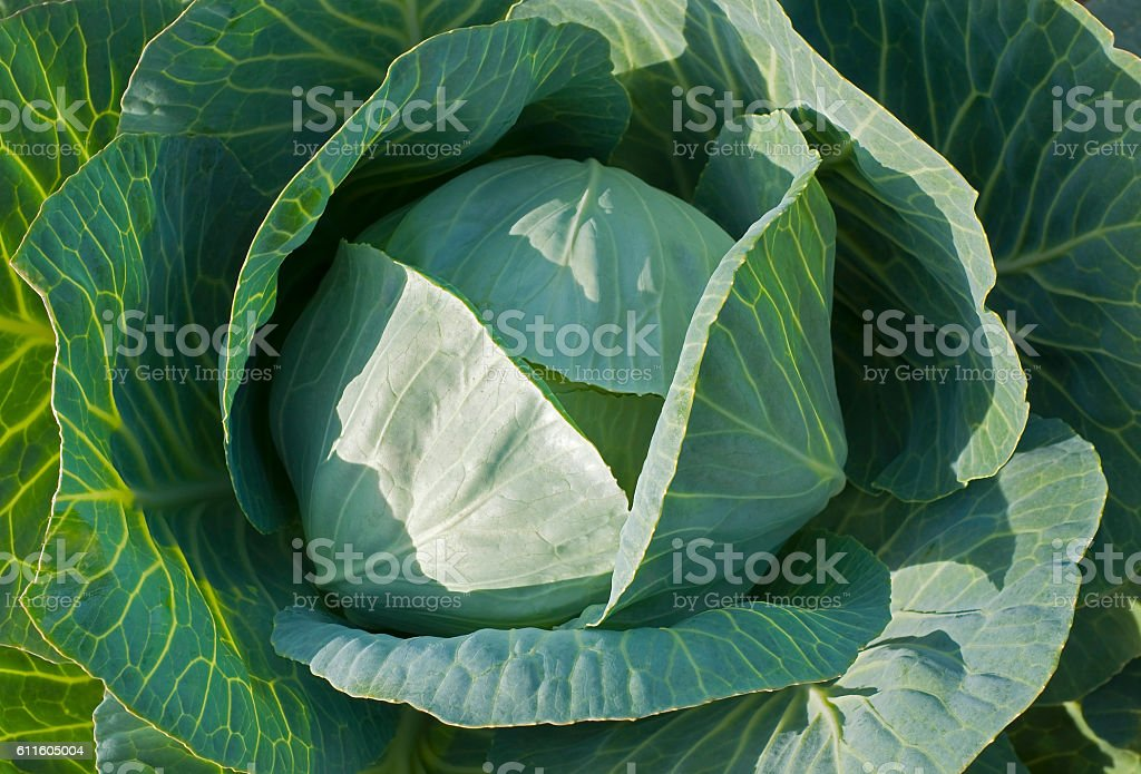 Close-up of fresh white cabbage in field stock photo