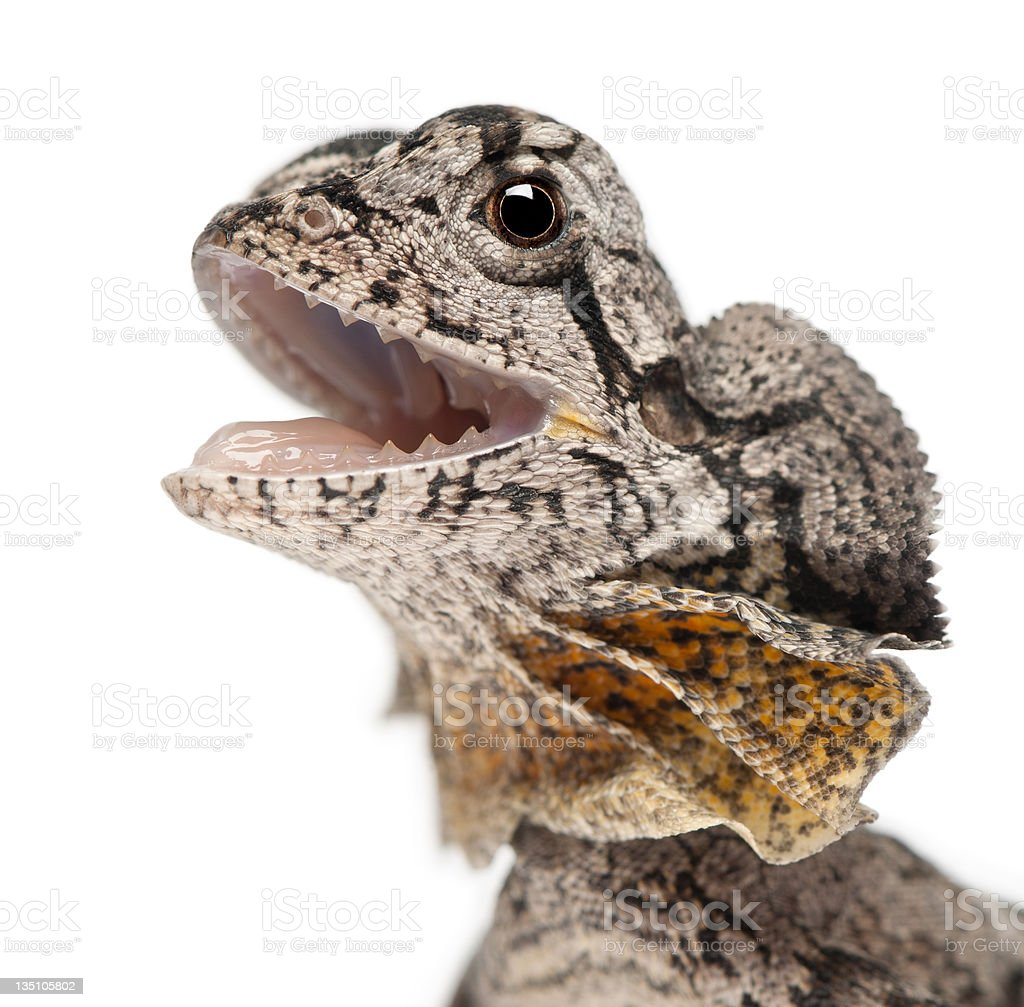 Close-up of Frill-necked lizard stock photo
