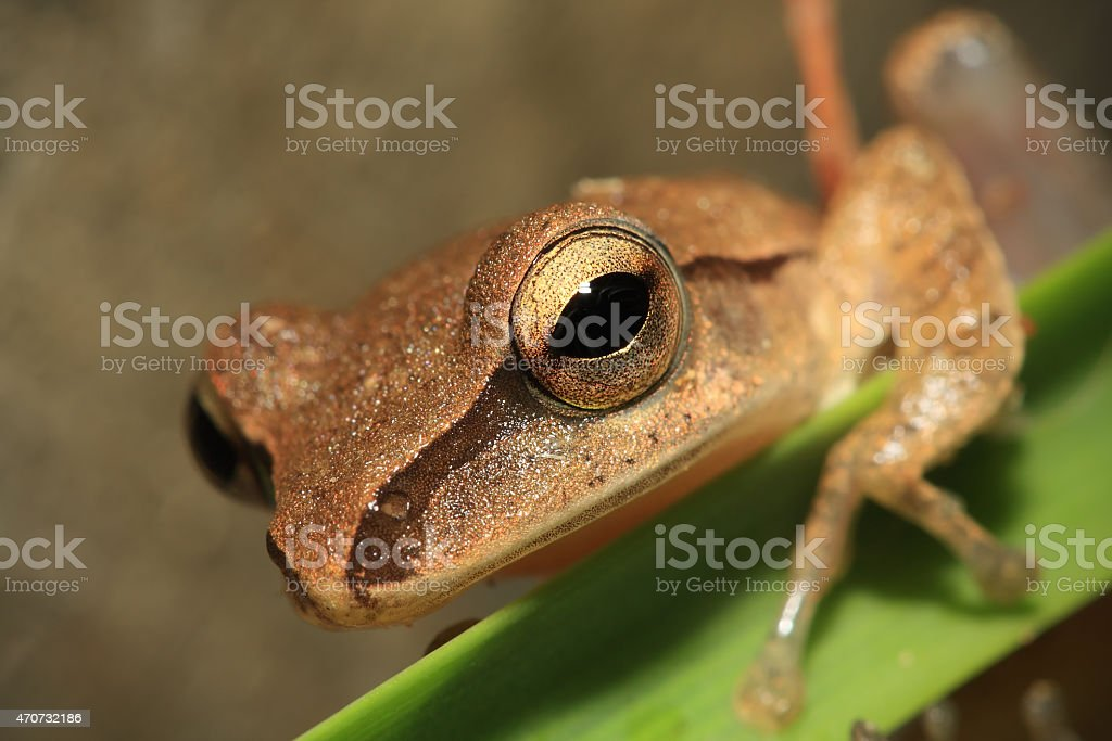 Closeup of frog head,Focus on eye royalty-free stock photo