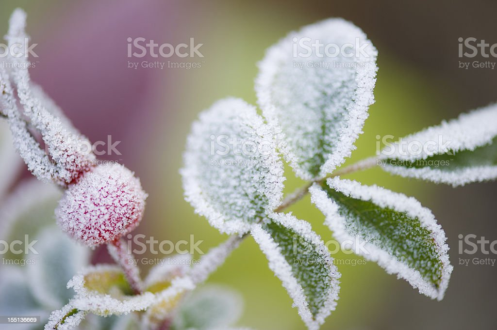 Close-up of frost on plant leaves in the Fall stock photo