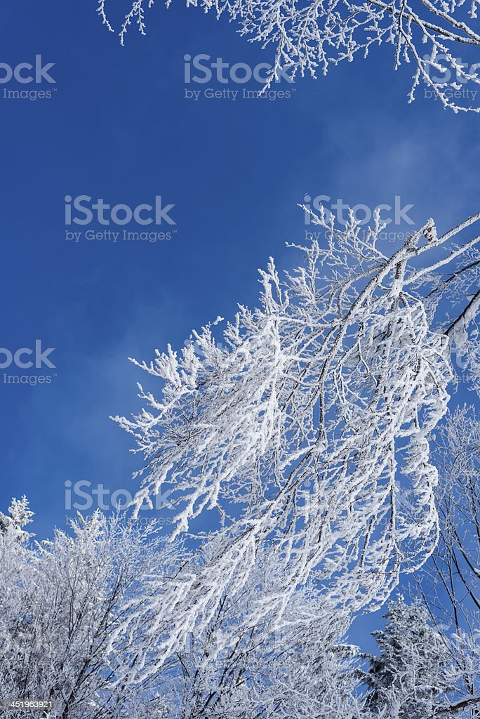 Close-up of Frosty Tree Branches against Blue Sky stock photo