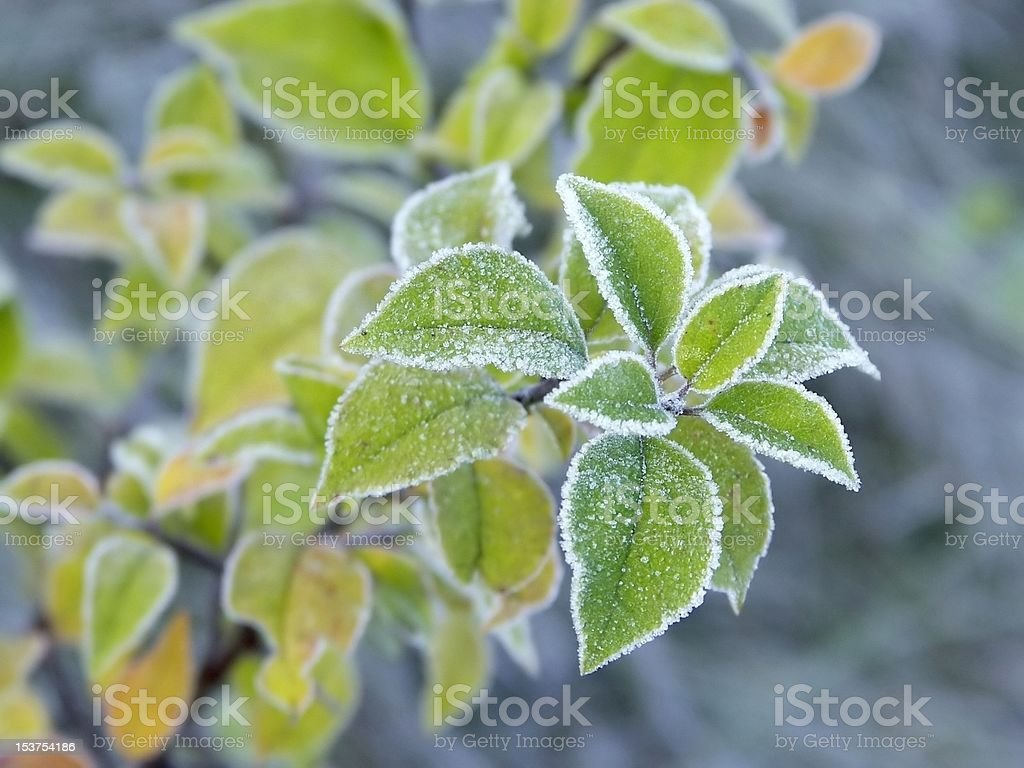 Close-up of frozen plant royalty-free stock photo