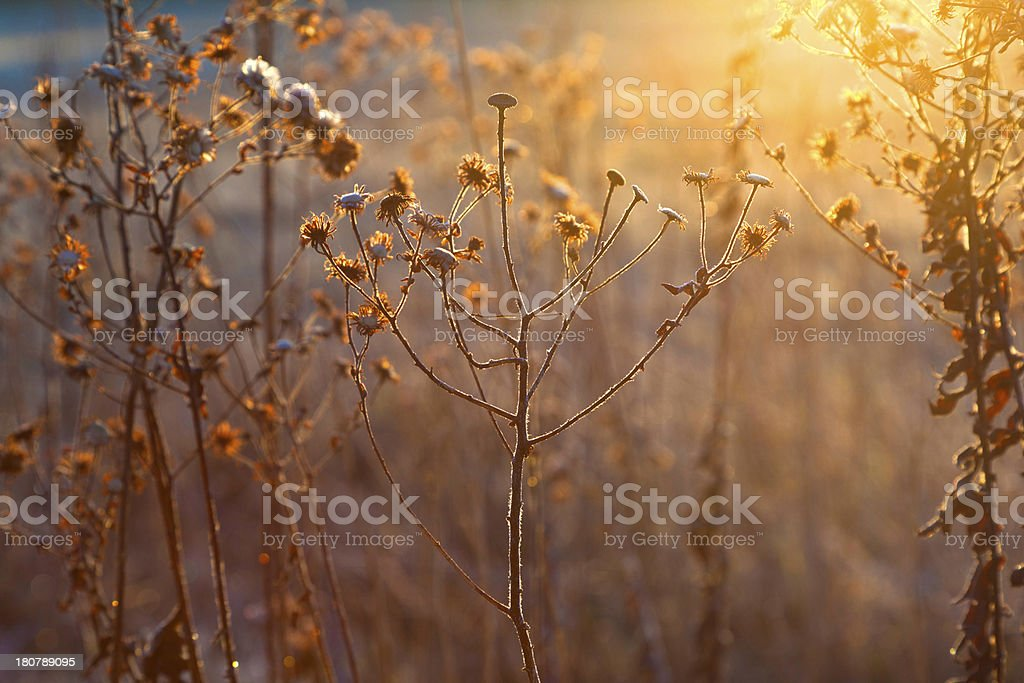 Close-up of frozen plants in meadow at sunset royalty-free stock photo