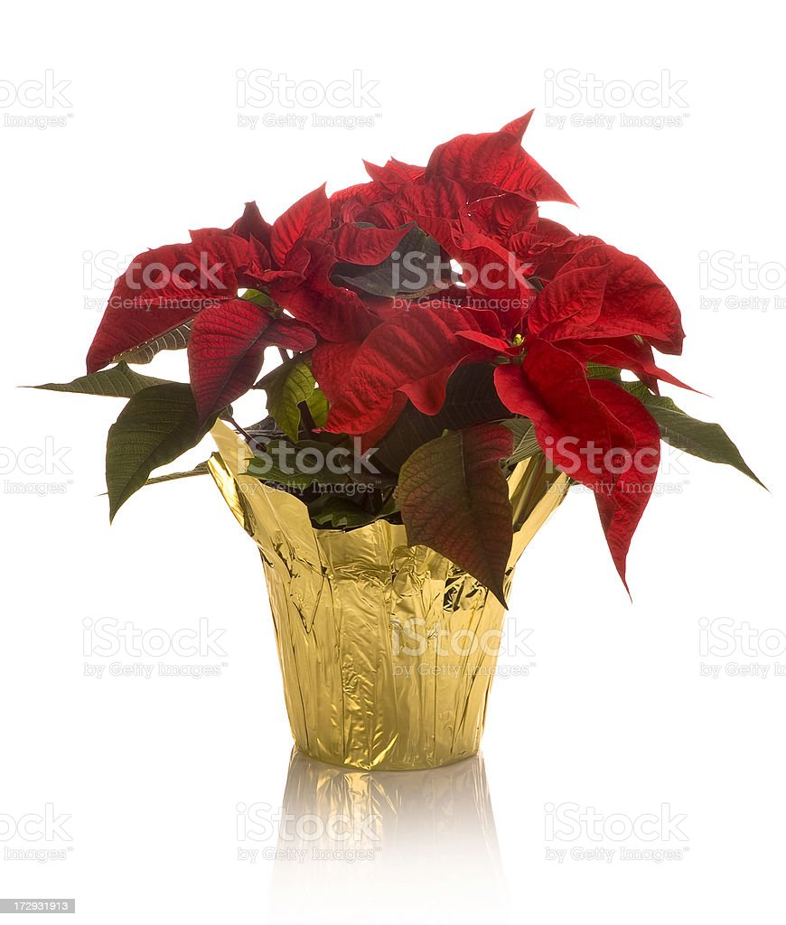 Close-up of full blossom poinsettia pot in golden wrap stock photo