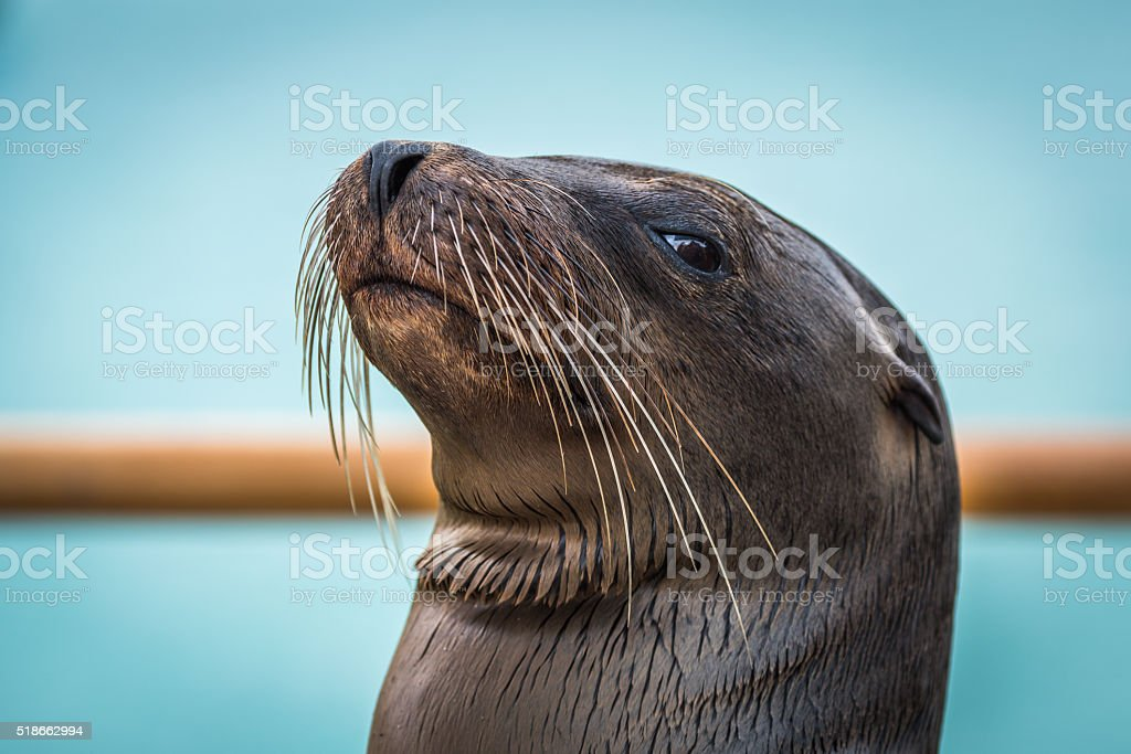 Close-up of Galapagos sea lion by railing stock photo
