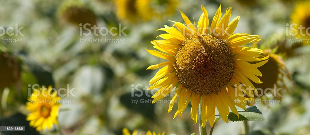 closeup of genuine sunflower in natural daylight stock photo