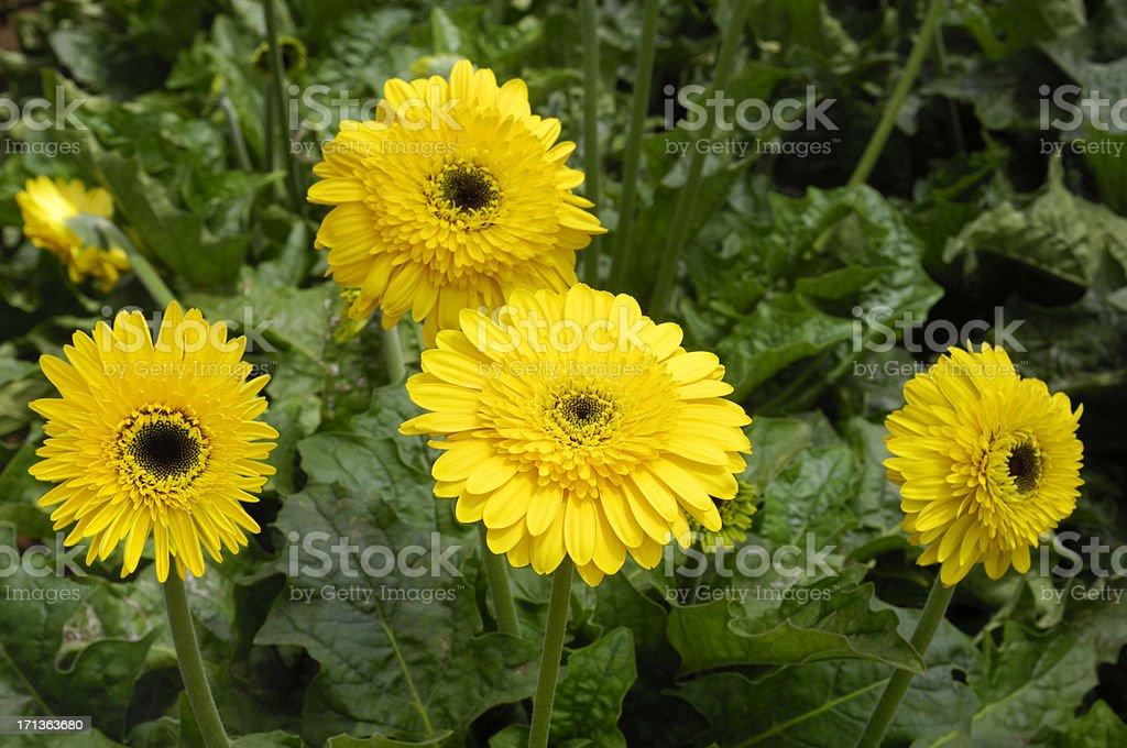 Close-up of Gerbera Daisies stock photo
