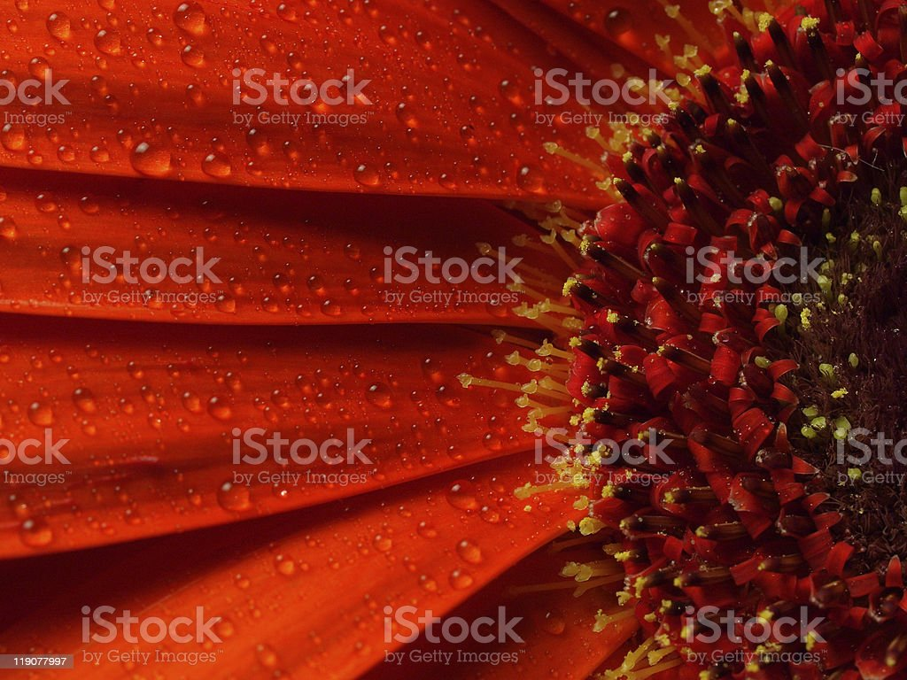 Close-up of Gerbera royalty-free stock photo