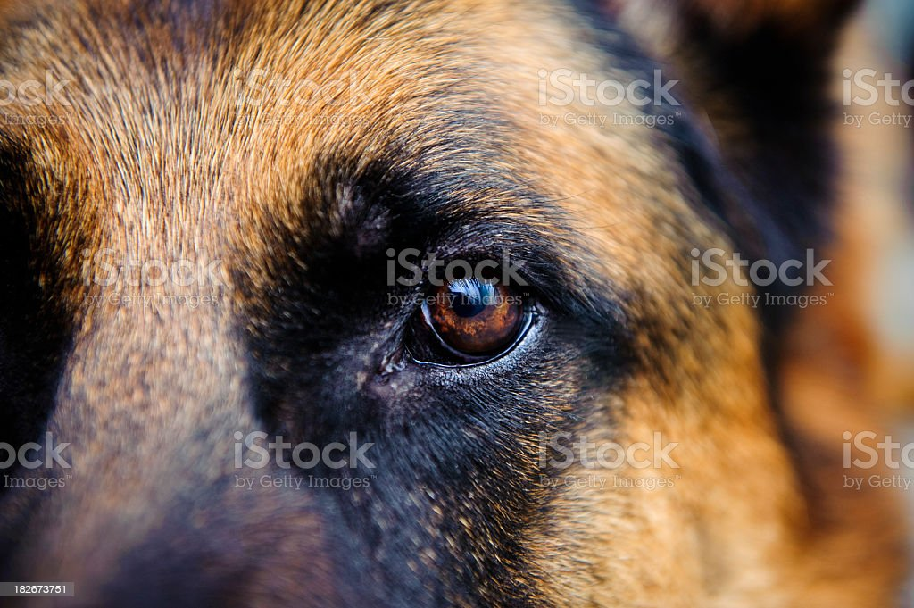 Close-up of German Shepard brown eye looking straight at us stock photo