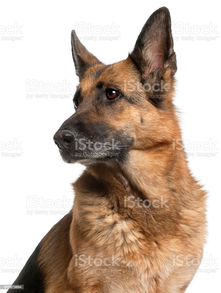 Close-up of German Shepherd Dog, 10 years old, stock photo