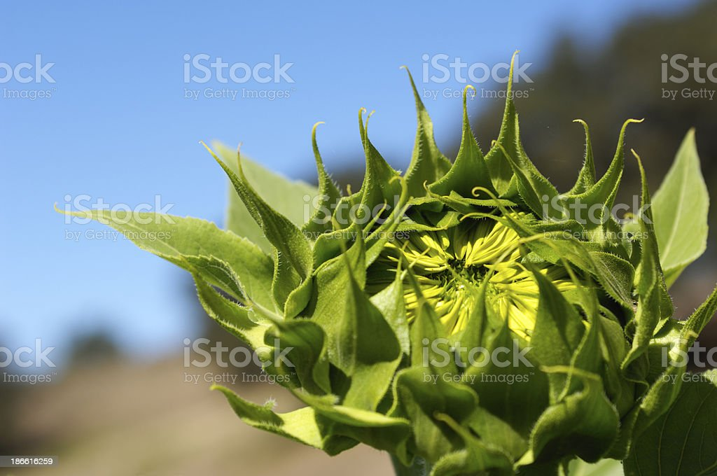 Close-up of Giant Sunflower in Garden royalty-free stock photo