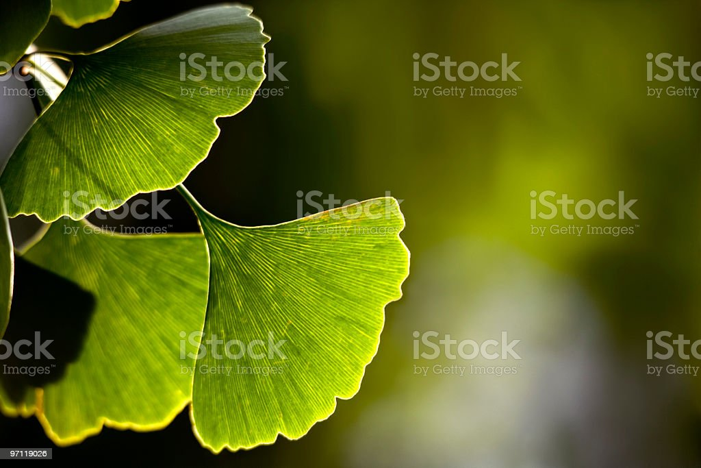 Close-up of Ginkgo biloba leaves back lit stock photo