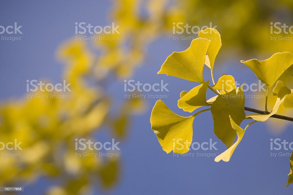 Close-up of Ginkgo leaves (autumn) royalty-free stock photo