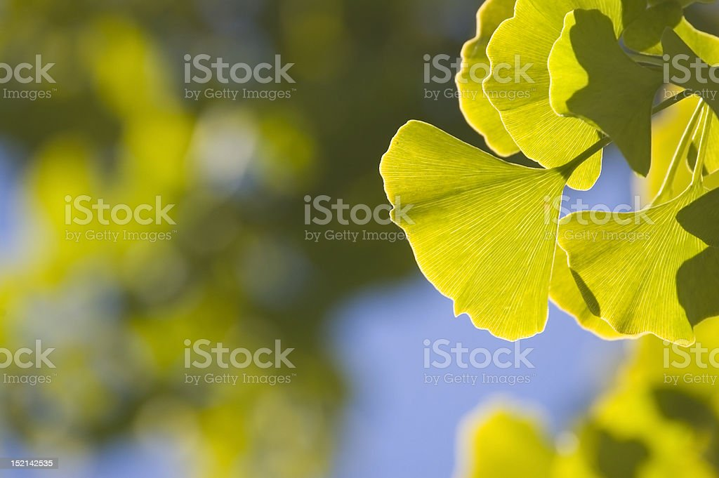 Close-up of Ginkgo leaves royalty-free stock photo