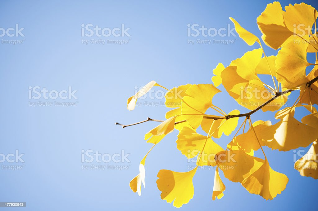 Closeup of ginkgo tree branch with yellow leaves stock photo