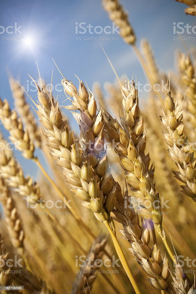 Close-up of gold wheat royalty-free stock photo