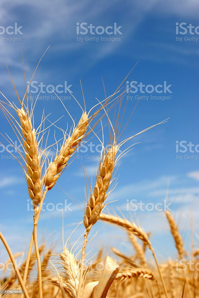 Close-up of golden grains of wheat over a blue sky stock photo