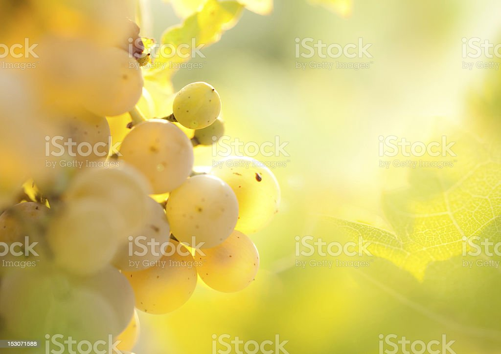 Close-up of golden grapes with blurred background stock photo