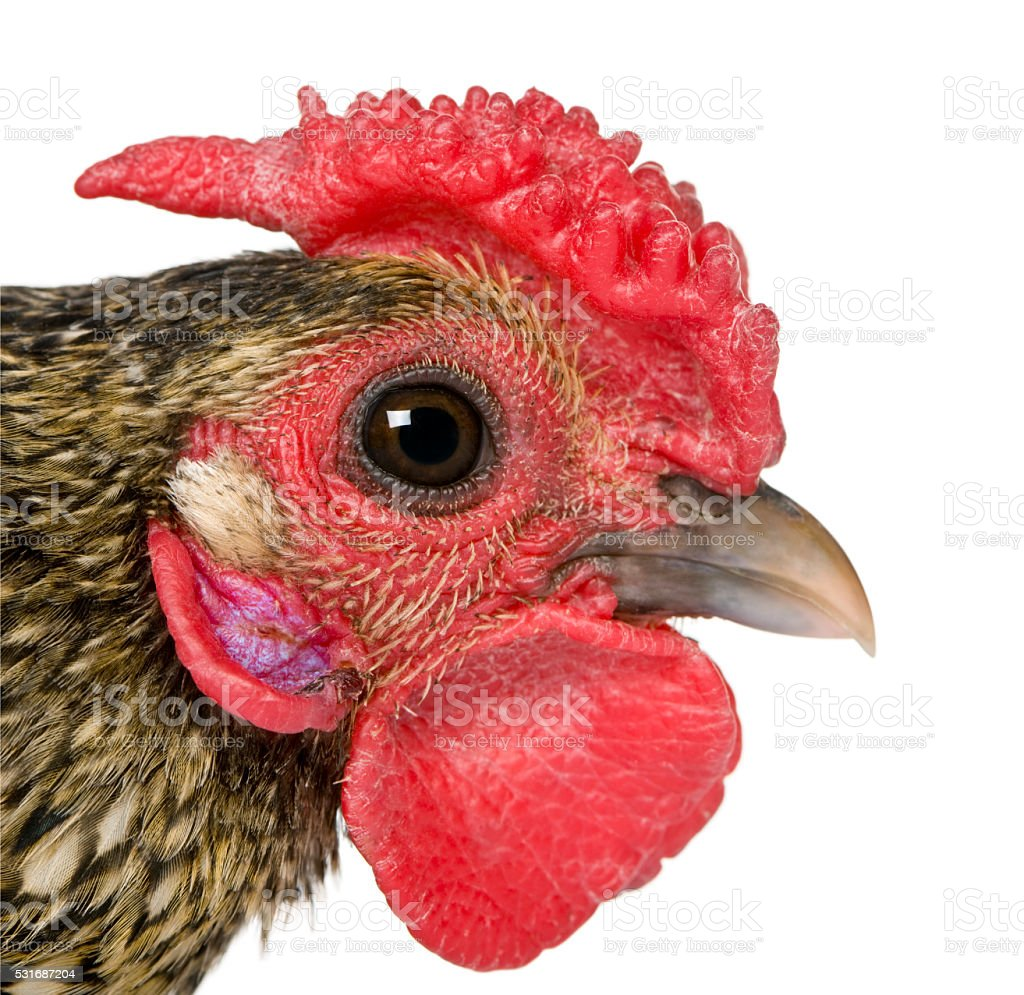 Close-up of Golden Sebright rooster, 1 year old, stock photo