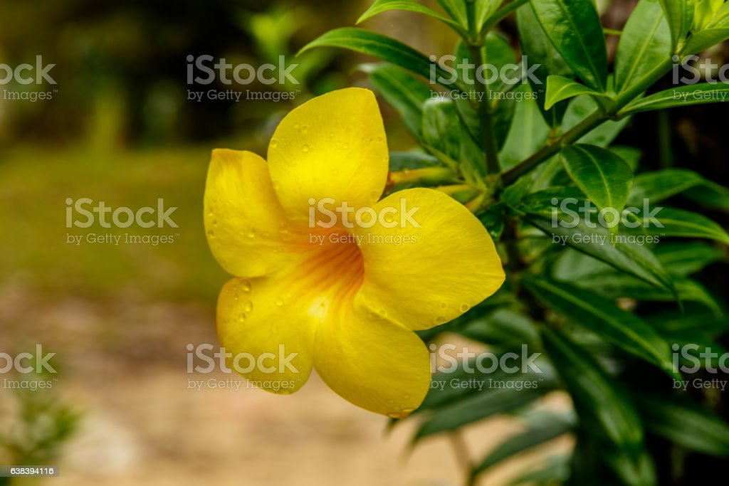 Closeup of Golden Trumpet blossom in Thailand stock photo