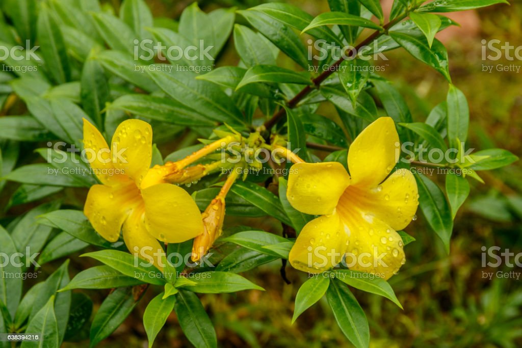 Closeup of Golden Trumpet blossoms in Thailand stock photo