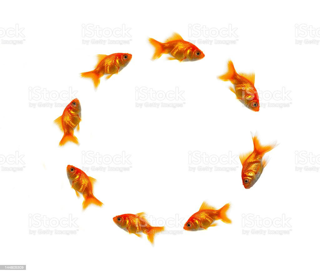 Close-up of goldfish in a circle royalty-free stock photo
