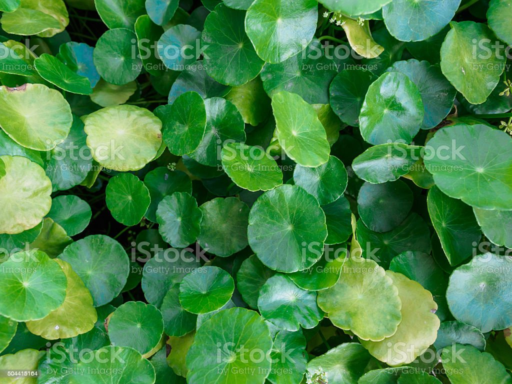 Closeup of gotu kola leaf,selective focus, nature background con stock photo