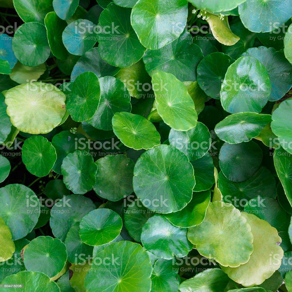 Closeup of gotu kola leaf,selective focus, nature background con stock photo