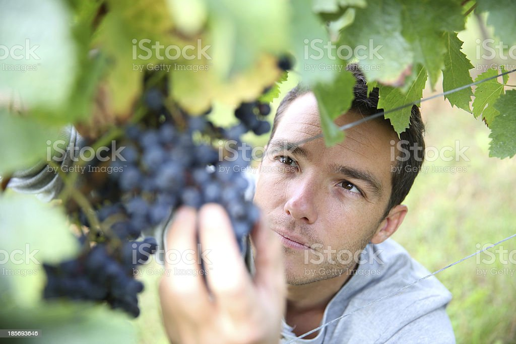 Closeup of grape picker in action stock photo