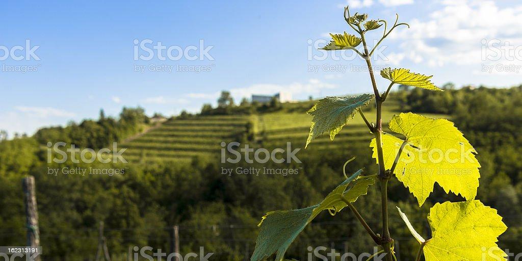 Closeup of grape vine shoot in Spring Friuli, Italy stock photo