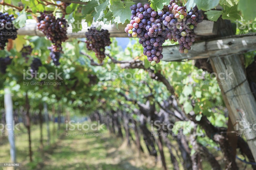 Close-up of grapes on the vine in South Tyrol, Italy stock photo