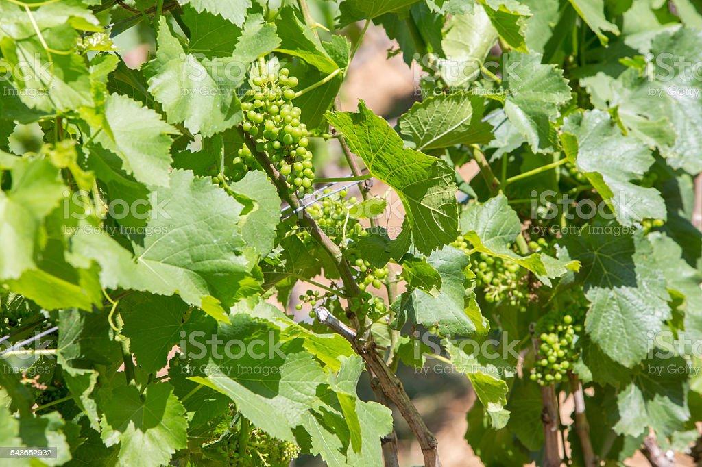 Closeup of grapes plants stock photo