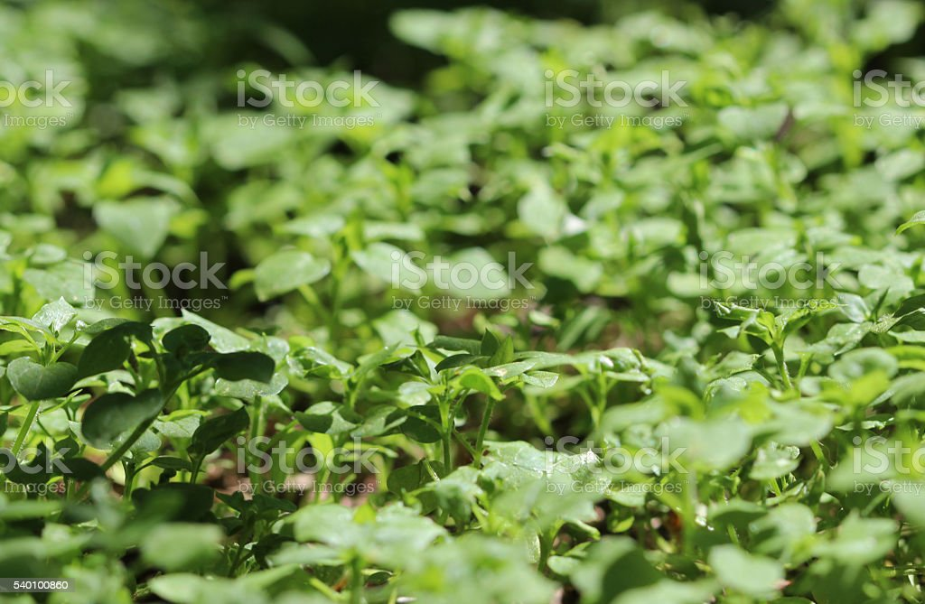 Closeup of grass Chickweed Stellaria media during flowering. stock photo
