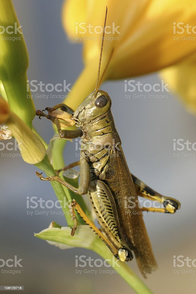 Close-Up of Grasshopper Sitting in Flower Stem stock photo