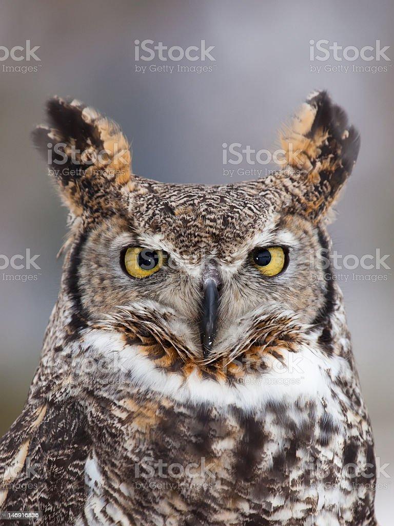 Close-up of Great Horned Owl bird stock photo