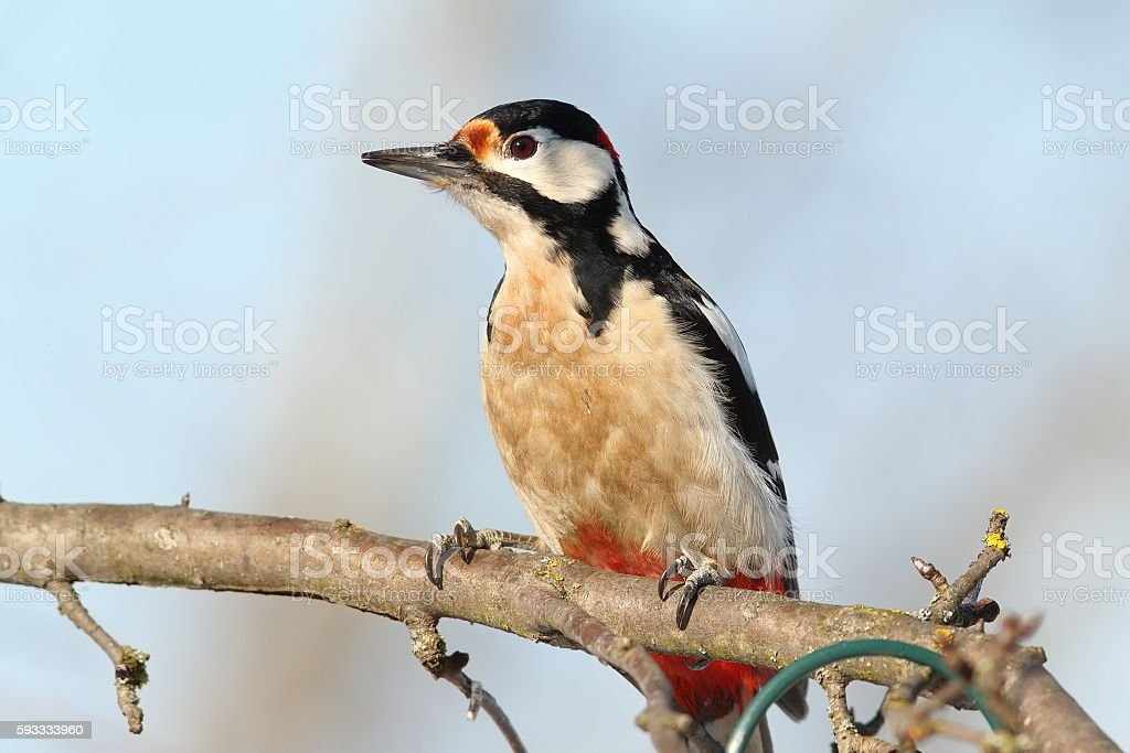 closeup of great spotted woodpecker stock photo