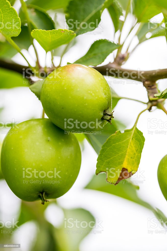 Closeup of Green and Yellow Apples stock photo