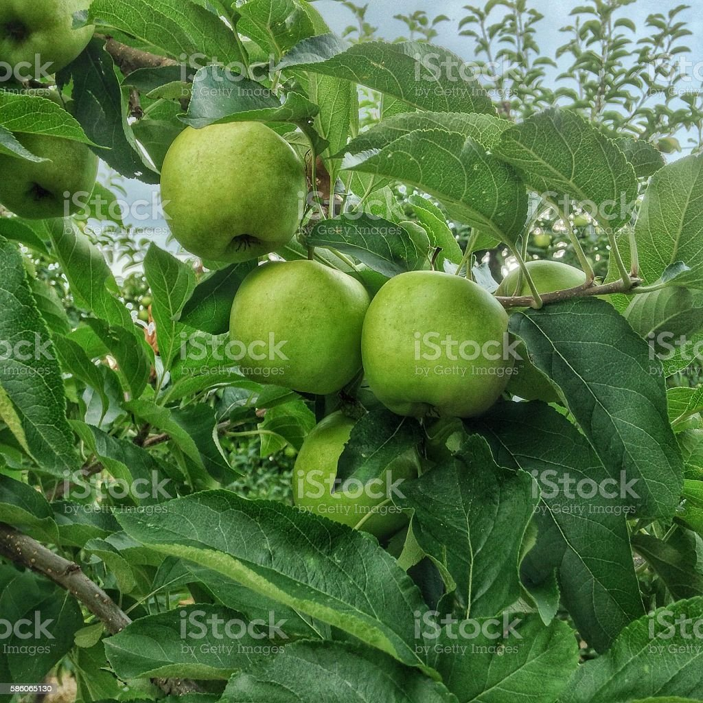 Close-up of green apples ripening on tree stock photo