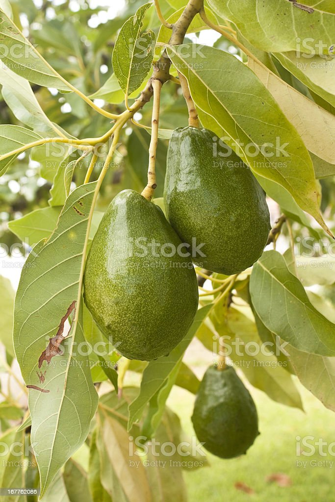 Close-up of green avocados hanging from a branch stock photo