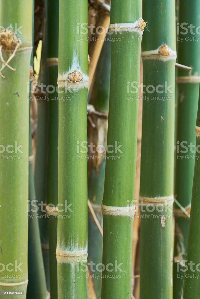 closeup of green bamboo stalk royalty-free stock photo