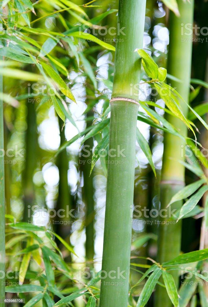Closeup of green bamboo trees stock photo