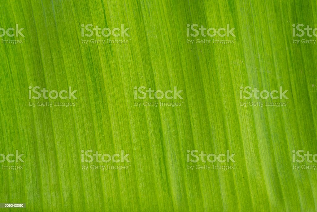 Closeup of green banana leaf texture stock photo