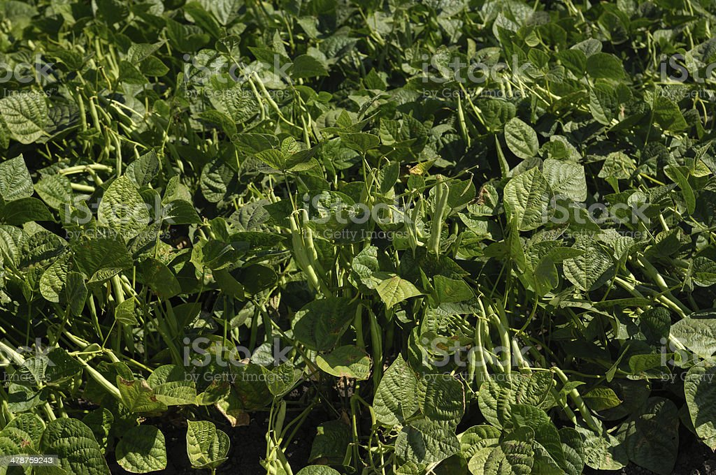 Close-up of Green Beans on the Vine royalty-free stock photo