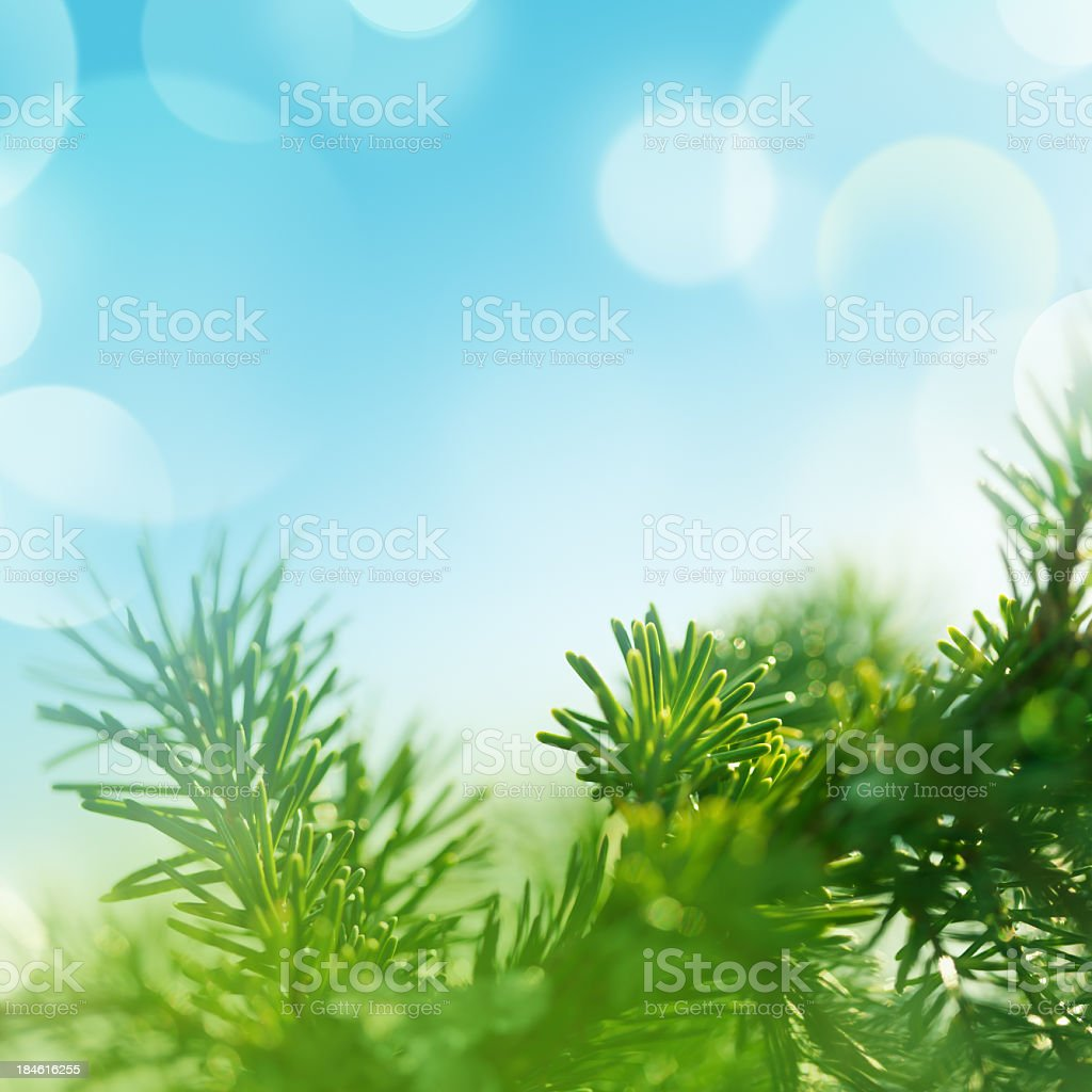 Close-up of green fir tree branches on a blue background royalty-free stock photo