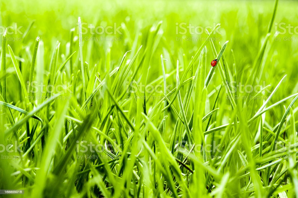 Close-up of green grass lawn with little ladybug walking stock photo