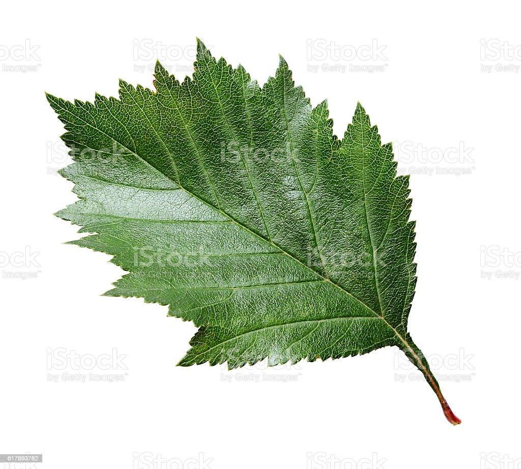 Closeup of green hawthorn leaf stock photo