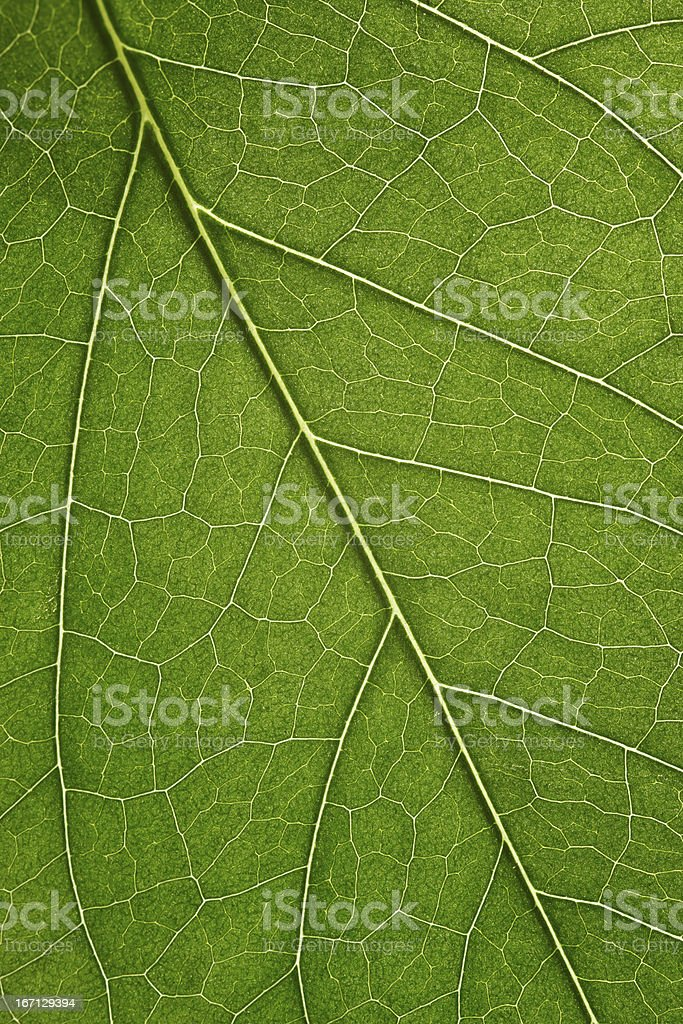 Close-up of green leaf veins and texture stock photo