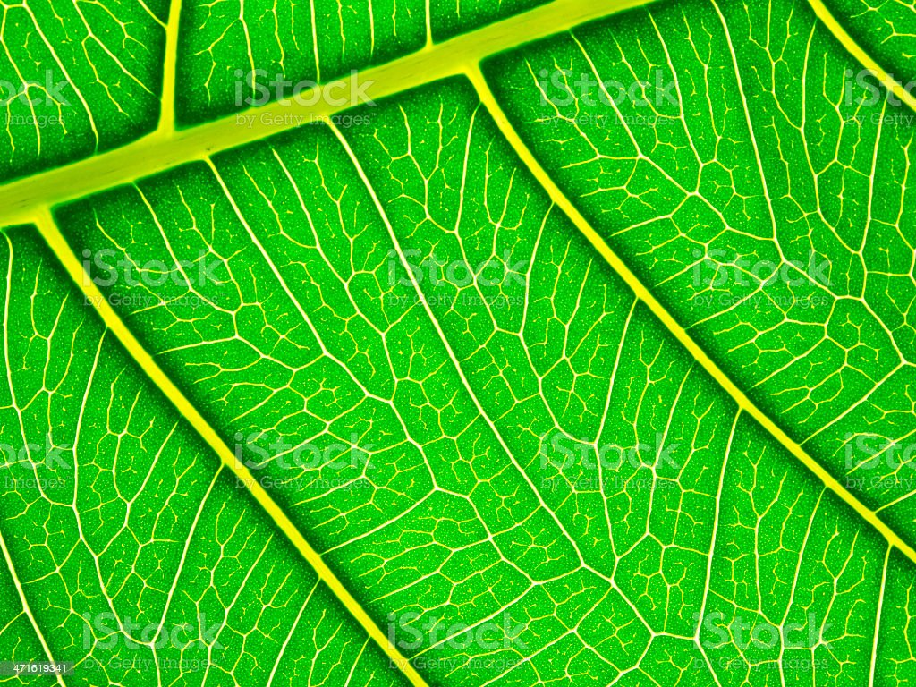 close-up of green leaf veins detail royalty-free stock photo